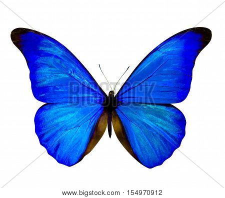 butterfly isolated on white. butterfly on white background. Morpho rhetenor