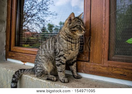 Close up of domestic short-haired tabby tomcat sitting on window of the house