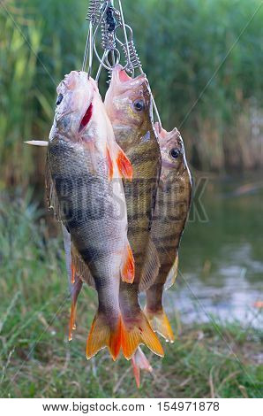 group caught perch on Kukan on the background of the pond