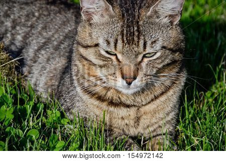 Portrait Of Domestic Short-haired Tabby Cat Lying In The Grass. Tomcat Relaxing In Garden