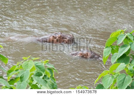 Hippo (Hippopotamus amphibius) fighting in the water