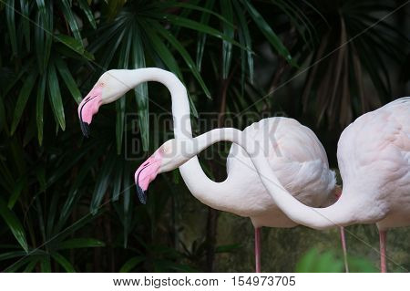GREATER FLAMINGO ,Greater Flamingo relax as background