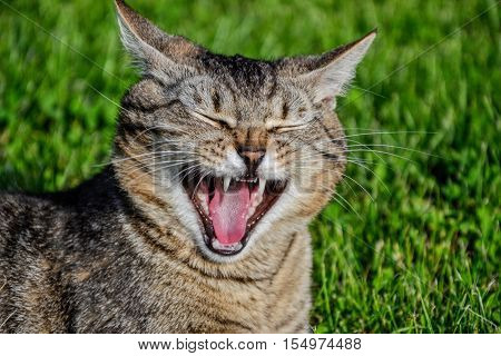 Tired striped cat yawns. Portrait of domestic short-haired tabby tom cat relaxing in the garden. Close up of sleepy tomcat lying in grass