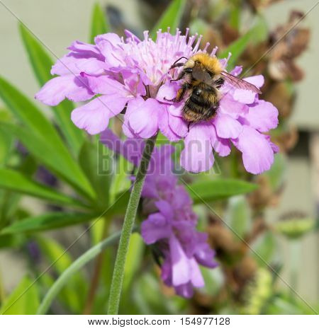 A Honeybee collecting pollen from a wild mauve flower
