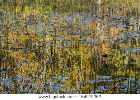 A lake with lily pads and reeds reflecting autumn color trees.