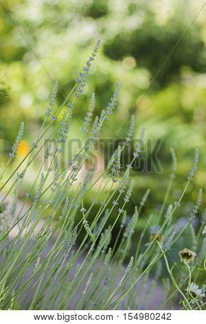 Summer garden. Decorative garden plant with long thin cones and blue inflorescences