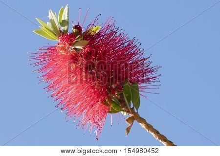 Callistemon Red Flower In Bloom