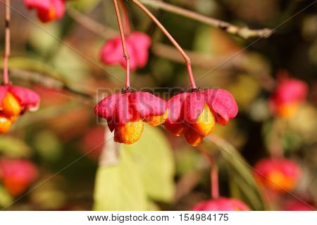 Mature Fruits of the European Spindle Tree ( Euonymus europaeus )