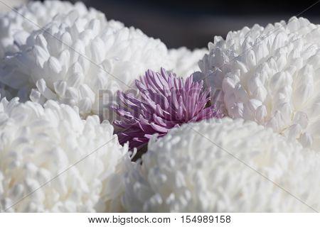 Chrysanthemum In Bloom
