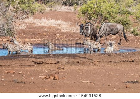Clan Of Hyenas At A Waterhole With Wildebeests.