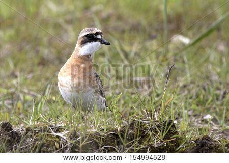 Lesser Sand Plover standing on the tundra summer day