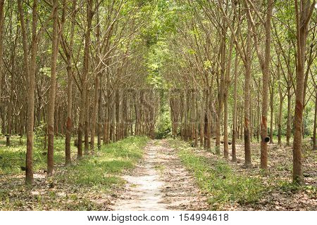 Row of para rubber tree (Hevea Brasiliensis) as a source of natural rubber