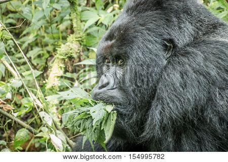 Silverback Mountain Gorilla Eating Leaves.