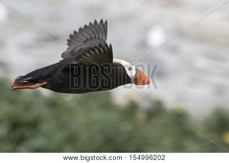 tufted puffin which departs from the colony for fishing
