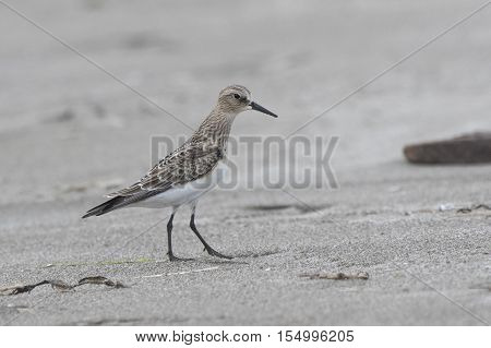young Bairds Sandpiper standing on the beach a cloudy day