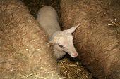 A Lamb stuck between two adult sheep poster