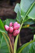 Musa Velutina banana tree in Singapore Botanic Garden poster
