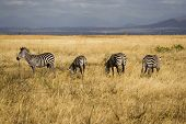 These are zebras in Mikumi National Park Tanzania poster