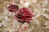 Deep red roses in autumn garden. Two rose flowers dying in fall, a lot of space for text. Selective focus. Vintage color. Two wilted roses in autumn garden. Red roses is dying blooming season is over poster