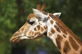 Close up of a Giraffe head with a uniform background poster