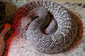 South American rattlesnake - Crotalus durissus poisonous white background poster