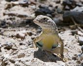 Zebra Tailed Lizard shows its colorful belly with his head turned to the left poster