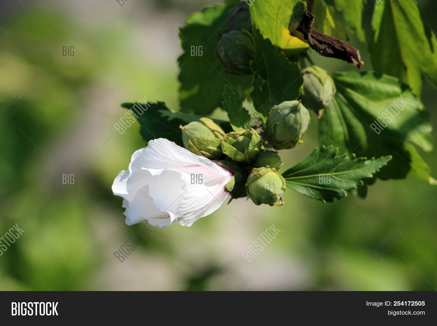 Hibiscus Syriacus Red Image Photo Free Trial Bigstock