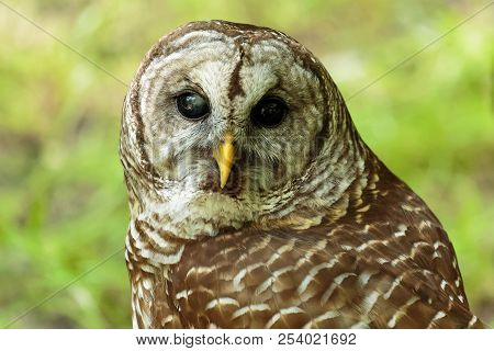 Barred Owl. Medium Sized, Large-headed Owl With Large, Brown Eyes.