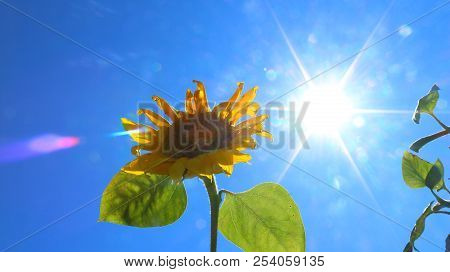 Two Suns Sunflower And Sun. Nature And Sky