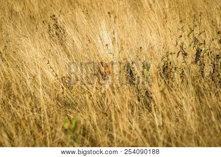 Red Fox Hiding In Tall Grass With Great Camouflage In The Dry Fields