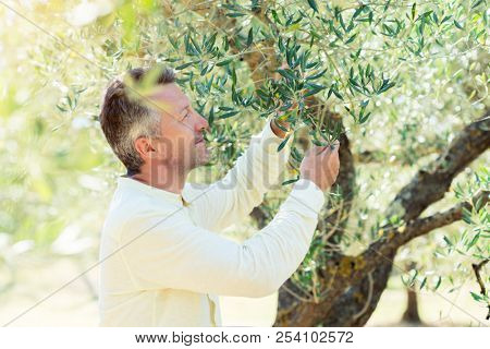 Olive trees. Handsome man posing in olive trees garden. Male portrain over mediterranean olive field ready for harvest. Confident mature man in italian olive grove with ripe fresh olives. Fresh olives