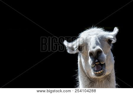Stupid Looking Animal. Goofy Llama. Funny Meme Image With Copy-space. Dumb Animal With Silly Express