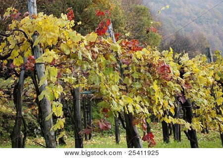 Rows of Grape Vines in autumn