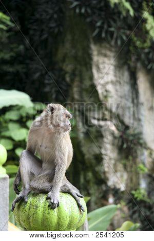 monkey outside the batu caves hindu shrine near kuala lumpur malaysia poster