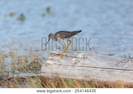 Greater Yellowlegs Bird