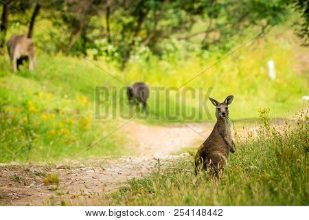 Young Kangaroo Eating On A Trail In Australia