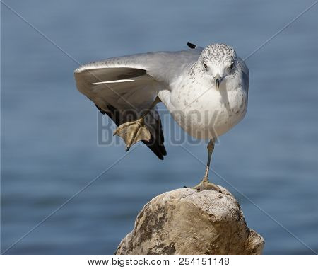 Ring-billed Gull (larus Delawarensis) Balancing On One Foot On A Piece Of Driftwood - Grand Bend, On