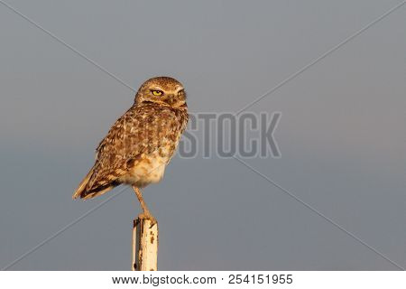 Burrowing Owl Sitting On A Fence Post