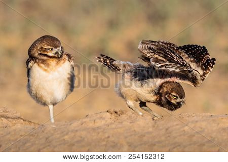 Burrowing Owls Nesting In An Abandoned Prairie Dog Hole.