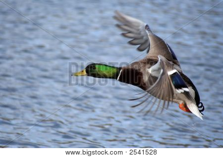 Greenhead Mallard Duck