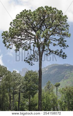 Tall Tree In The Forest, Stand Out From Other Trees. Tall Tree At The Mountain