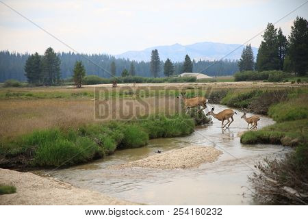 The Deer Frolicking Through The River In Tuolumne Meadows