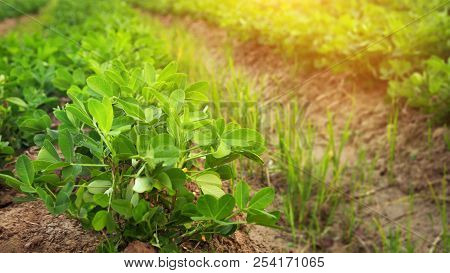 Growing Peanuts On A Plantation, Close-up Outdoor