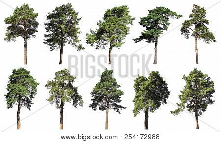 Coniferous Forest. Pine, Spruce, Fir. Set Of Isolated Trees On White Background