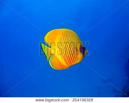 Masked Butterflyfish (chaetodon Semilarvatus), Marsa Alam, Egypt