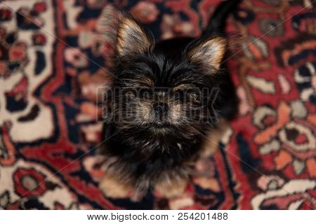 A small furry Yorkie x Pekingese puppy sits on a rug looking up at the camera. poster