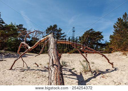 Dead Tree On The Kolka Cape Beach.