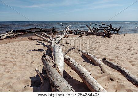 Dead Trees On The Kolka Cape Beach.