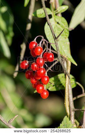 Red Nightshade (solanum Dulcamara) Can Be Used For Healing.