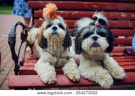 Decorative Breed Dogs. Small Domestic Dog. Dog Under The Bed Hides.japanese Hin Dog